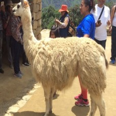 Machu Picchu - Llamas roam free on the grounds (Traveltinerary)