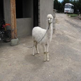 Quilotoa, Ecuador - Alpaca or Llama? Alpaca. (Traveltinerary)