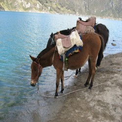 Quilotoa, Ecuador - Mules for ride uphill (Traveltinerary)