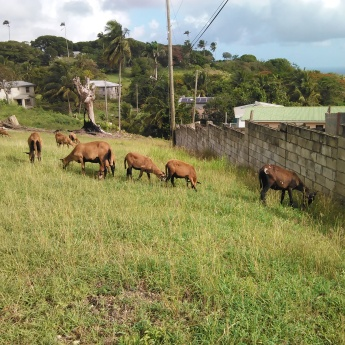Local farm animals (Traveltineraries)