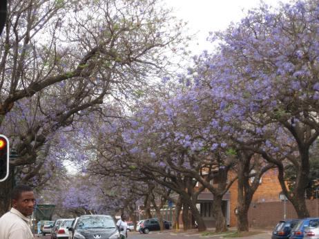 Pretoria, South Africa - Blooming Jacaranda Trees (Traveltineraries)