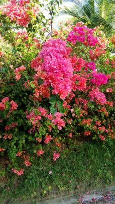 Bougainvillea (Traveltineraries)