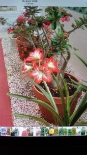 Amaryllis (Traveltineraries)